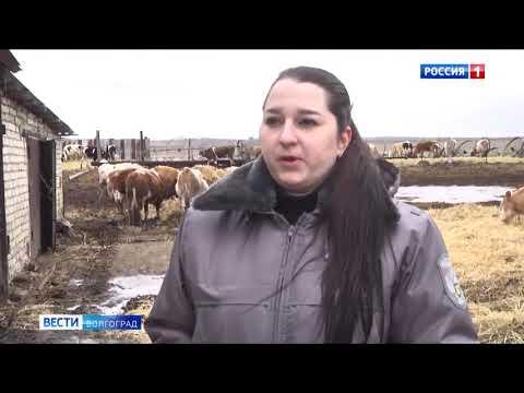 В Волгоградской области Управлением Россельхознадзора проведен забор проб сырого молока и крови с целью контроля эпизодической ситуации области