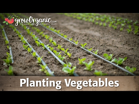 planting - Tricia shows you how to plant vegetables starts into the garden.