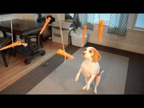 "maymo ""the lemon beagle"": dog vs flying carrots"