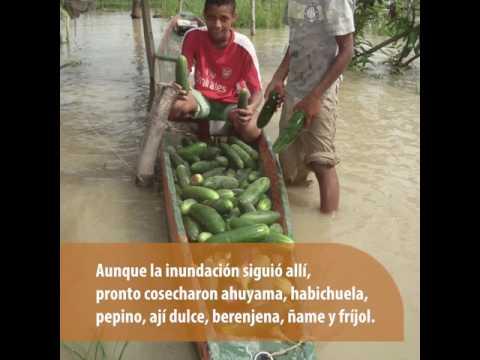Inundación: Estrategia de recuperación rápida de producción agropecuaria y generación de resiliencia