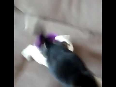 Kuinka herättää nälkäinen koiranpentu