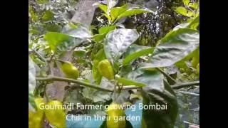 Bombai Morich: Hot chili / pepper Barisal (...
