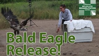 Bald eagle Release July 18 2015