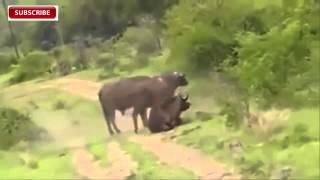 South Luangwa National Pa Zambia  city photo : Amazing !! Lion Vs Buffalo in South Luangwa National Park Zambia 2015