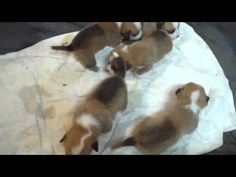 Cosmic Corgi Breeding - 3 Weeks Old