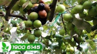 Đắng lòng khi vườn táo gần được ăn quả còn thối và rụng