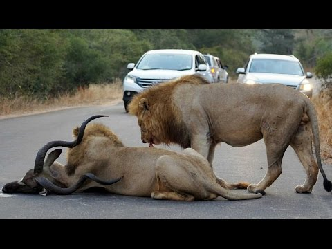 2 Male Lions Kill Kudu in the Middle of the Road - Latest Wildlif