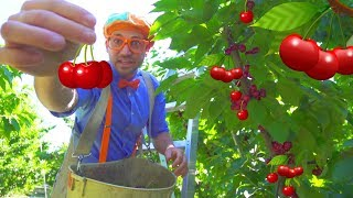 Video Cherry Farm Tour with Blippi | Healthy Eating for Children MP3, 3GP, MP4, WEBM, AVI, FLV Juni 2019