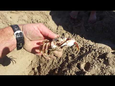 How To Dig Up A Sand Crab
