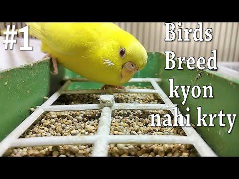 (#1) Ab  Ap K Birds Bi Breed Krain Gay | Very Important Video