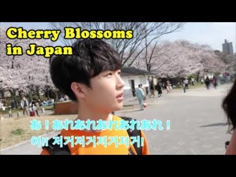 日韓カップル)お花見デート!/Korean-Japanese Couple Cherry Blossom(Eng CC)/일본 유학생 벚꽃놀이! (видео)
