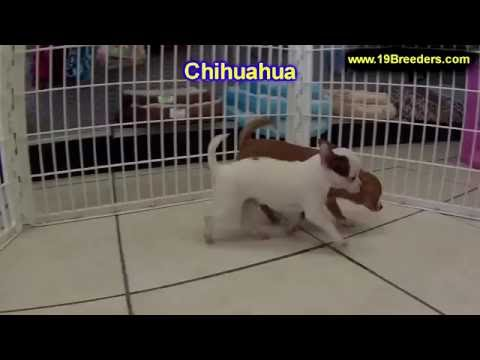 Chihuahua, Puppies, For, Sale, In, Kansas City, Missouri, MO, Ballwin, Wentzville, University City,