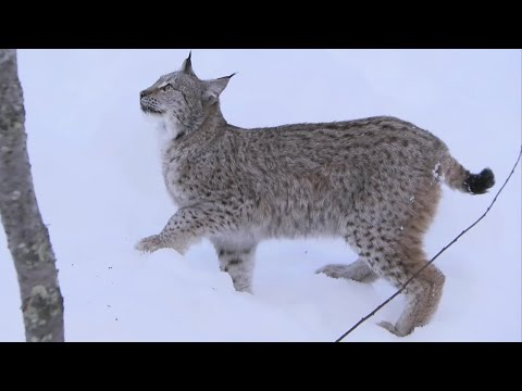 LYNX - The Deadly 60 team head for the Polar Zoo where they are studying Lynx. Steve Backshall watches them climb and admits to being a little nervous as one climbs...