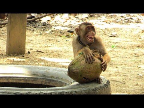 Malaysia: Affen lernen Kokosnusspflücken