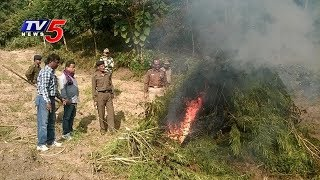 Excise Officials Destroy 2000 Ganja Plants | Sangareddy District