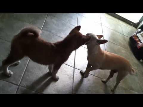 Chihuahua vs. Husky