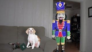 Dog Destroys Giant Nutcracker: Funny Dog Maymo