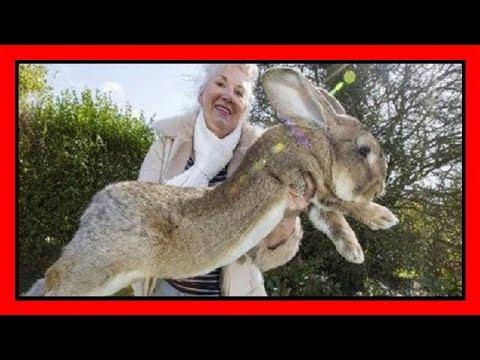 darius il coniglio più grande del mondo!