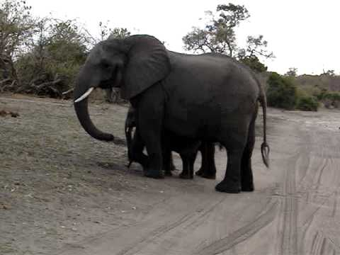 Baby elephant sneeze
