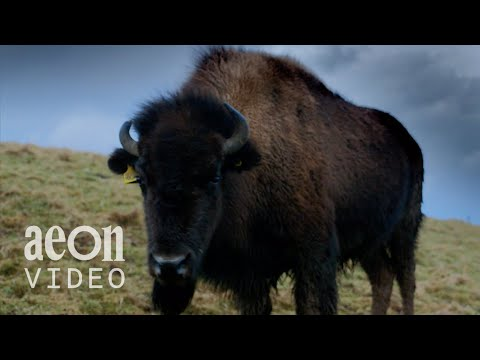 Buffalo Dreams: Can Bison Thrive In Scotland?