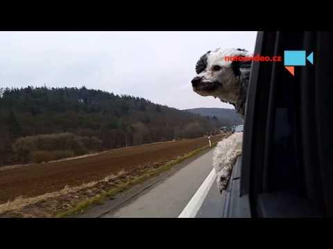 Pes Annie a její dobrodružná jízda autem