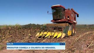 Começa colheita dos girassóis em Gália