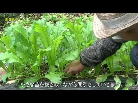 園芸便り 野菜編 蕪の栽培① 間引き