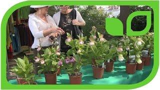 Gärtner Schreiner über winterharte Orchideen
