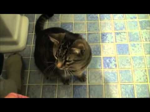 ÉPICO: O gato mais obediente de sempre