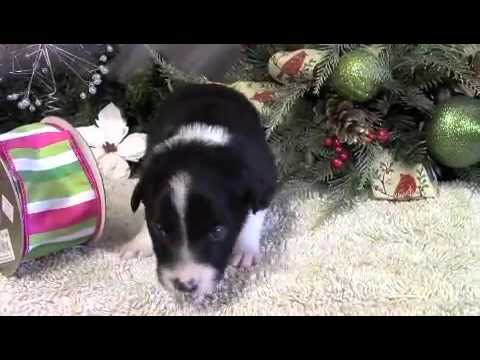 Manny Purebred Border Collie puppy