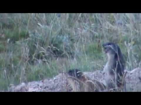 Fischio di allarme della marmotta