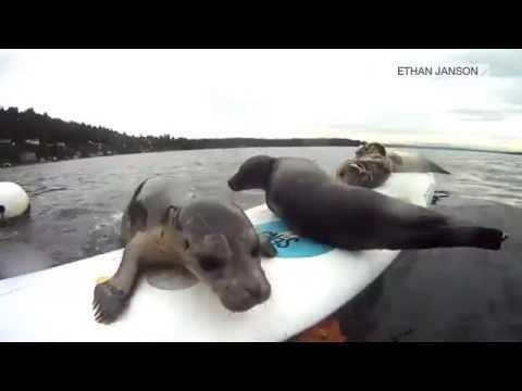 Speel Surfer seal! af
