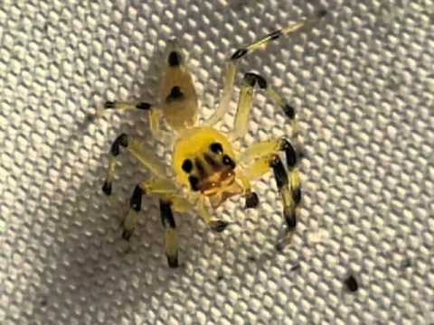 Yellow amycine jumping spider