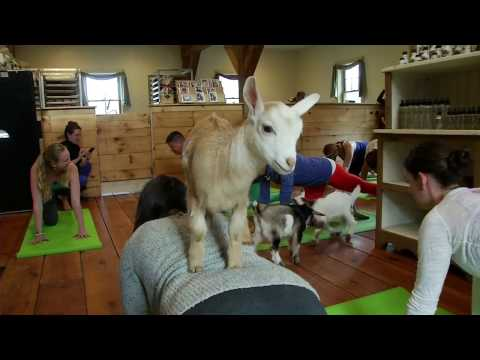 Would You Do Yoga with a Goat?