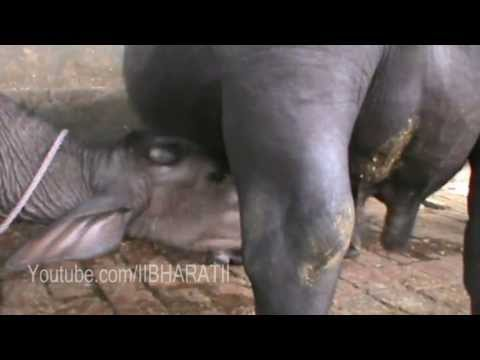 Buffalo Milking - Produce 5 Litre Milk -Home Made HD Video
