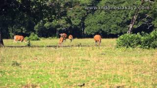 Padang Cidaon, Kawasan Berkumpulnya Satwa Asli Ujung Kulon