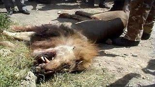 Video Lion shot dead after escaping from Nairobi National Park MP3, 3GP, MP4, WEBM, AVI, FLV Juli 2018