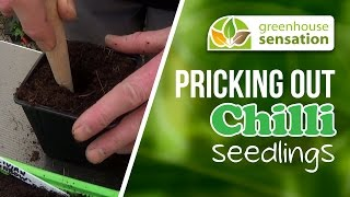 Pricking Out CHilli Video