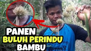 Video PANEN BULU PERINDU bambu MP3, 3GP, MP4, WEBM, AVI, FLV April 2019
