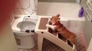 Щенок вельш-корги учится ходить в туалет