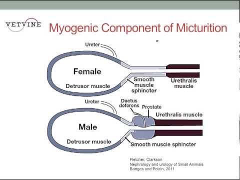 Micturition - Joseph Bartges, DVM, PhD, DACVIM, DACVN reviews the components of normal urination including the influence of neurologic control on musculature in the urinar...