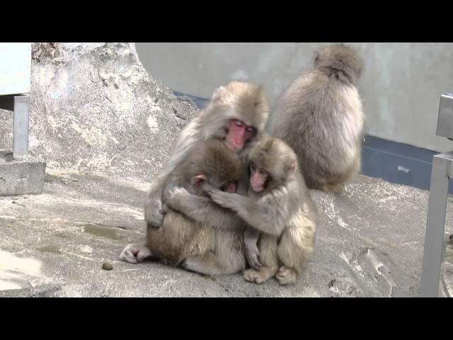 ニホンザル「ちいさくてかわいいサル団子」@上野動物園 - MVI 2866