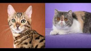 Bengal Cat And Exotic Shorthair