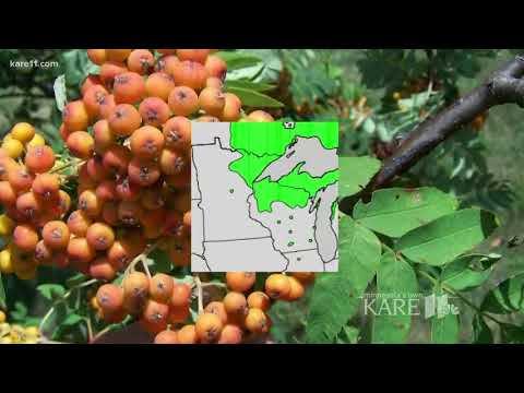 Ash trees in Minnesota are critically endangered