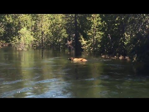 Bär in den Fluten