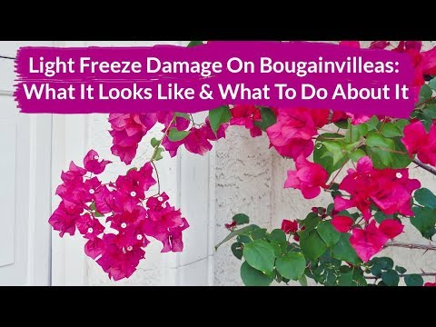How to Manage Light Freeze Damage On Bougainvilleas / Joy Us Garden