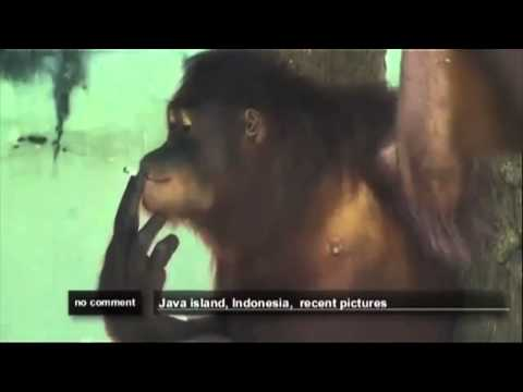 Orangutan que Fuma.!!