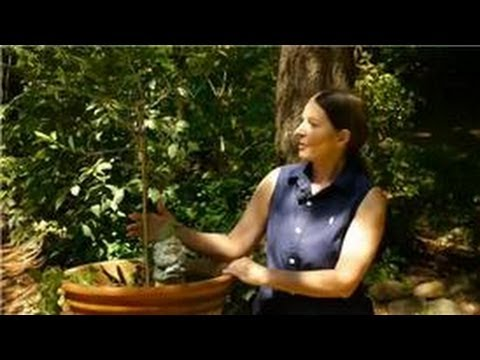 Growing Ornamental & Edible Trees : How to Garden Olive Trees