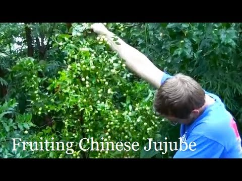 how to care jujube tree