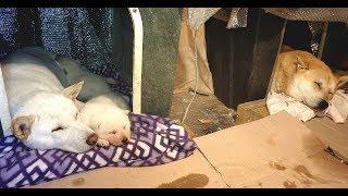 Video [275] 새끼 강아지와 한지붕 아래 침실에서 함께 잠을 자는 아빠 진돗개 금동이, 이유식 시작한 새끼 뽀뽀해주고 싶지만 엄마개 눈살에 참고 살아요. MP3, 3GP, MP4, WEBM, AVI, FLV Januari 2019